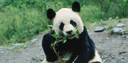 דובי פנדה בסין - טיול מאורגן לסין