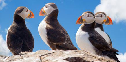 תוכי ים - בעלי החיים של איסלנד