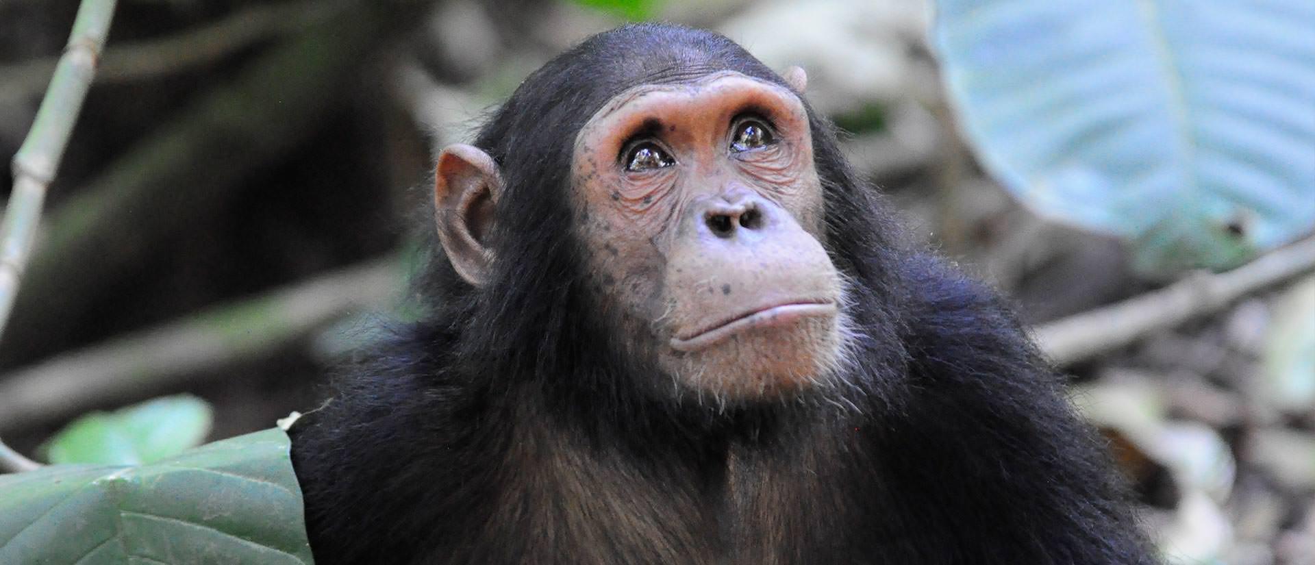 לחיות עם השימפנזים - עשר עובדות מעניינות על ג'יין גודול
