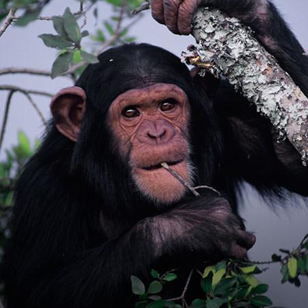 טיול לטנזניה וזנזיבר - 13 יום - מנדידת הגנו בשמורות צפון טנזניה אל שמורת השימפנזים באגם טנגניקה