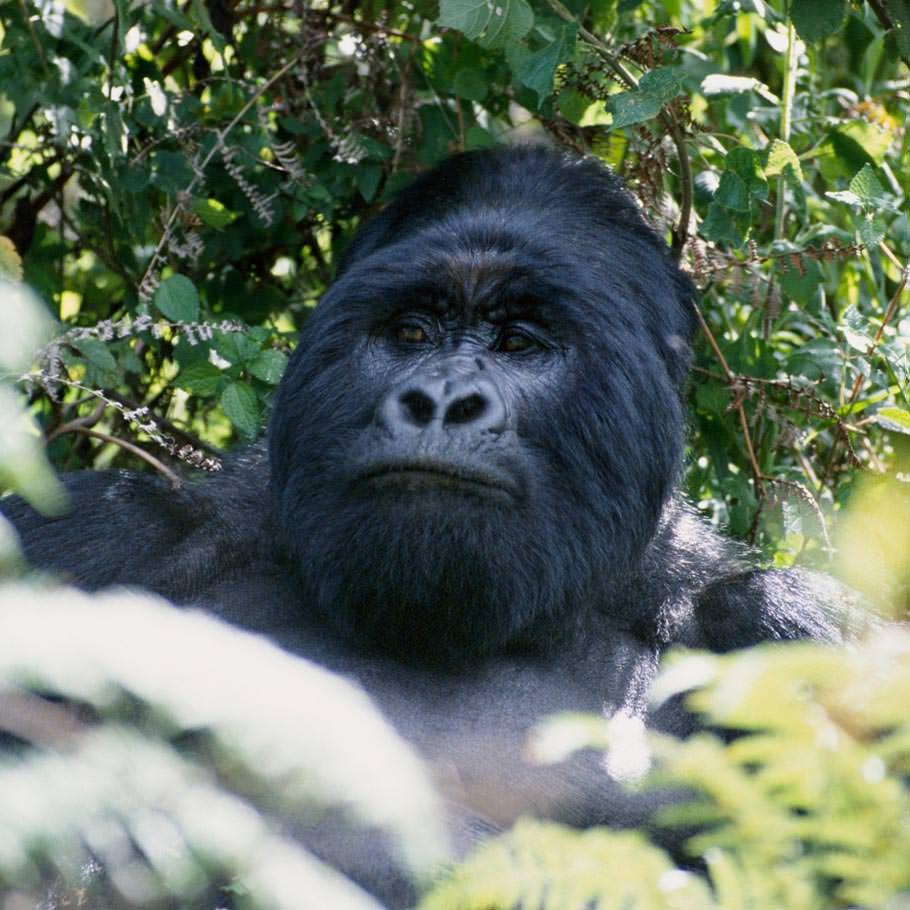 טיול לאוגנדה - בעקבות גורילות ההרים