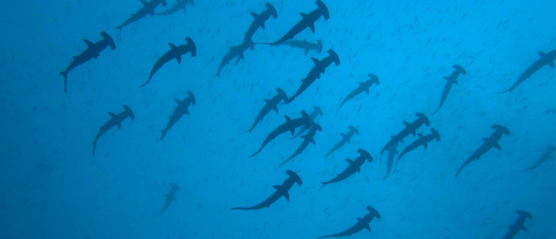 ספארי צלילה באי קוקוס - 13 יום - הפלגה לאי הכרישים