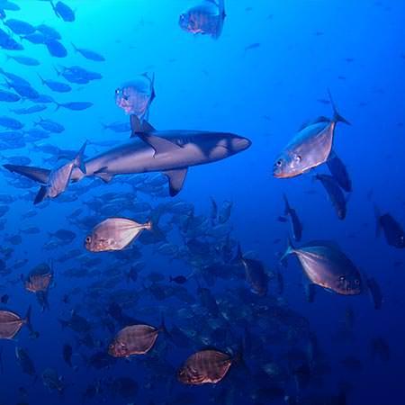 ספארי צלילה בפלאו - 10 ימים - שבוע הכרישים בפלאו