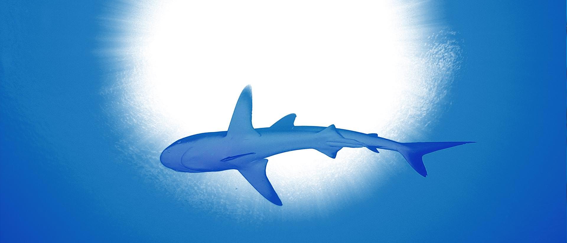 ספארי צלילה עם כרישים - 10 טיפים לכרישאי המתחיל