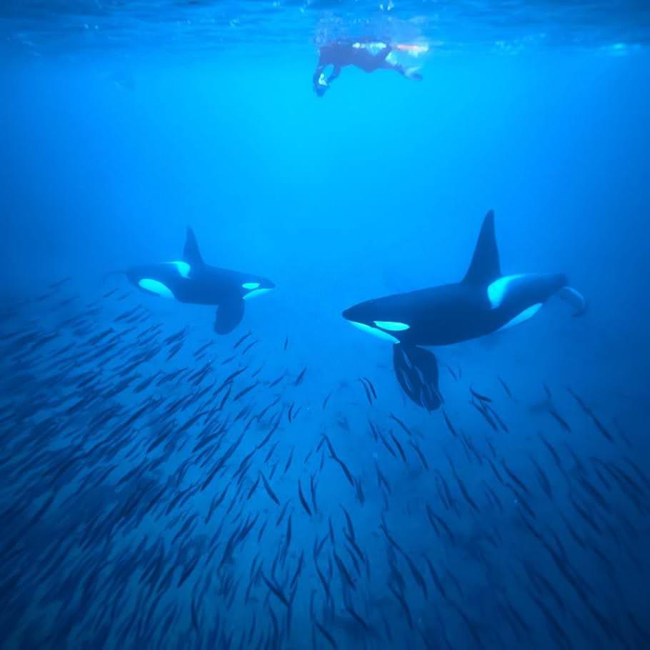 ספארי ימי בנורווגיה - 9 ימים - בעקבות הלווייתן הקטלן
