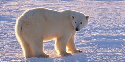 המקומות הטובים בעולם לצפייה בדובי קוטב