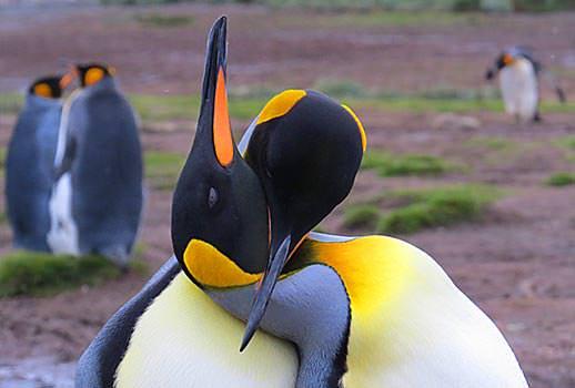 פינגווינים מלכותיים בג'ורג'יה הדרומית, אנטארקטיקה | צילום: אמיר גור