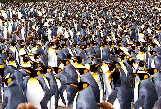 מושבות ענק של פינגווינים מלכותיים - טיול שייט לאנטארקטיקה | צילום: מולה יפה
