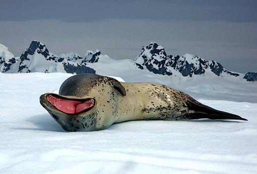 כלב ים נמרי, אנטארקטיקה  | צילום: מולה יפה