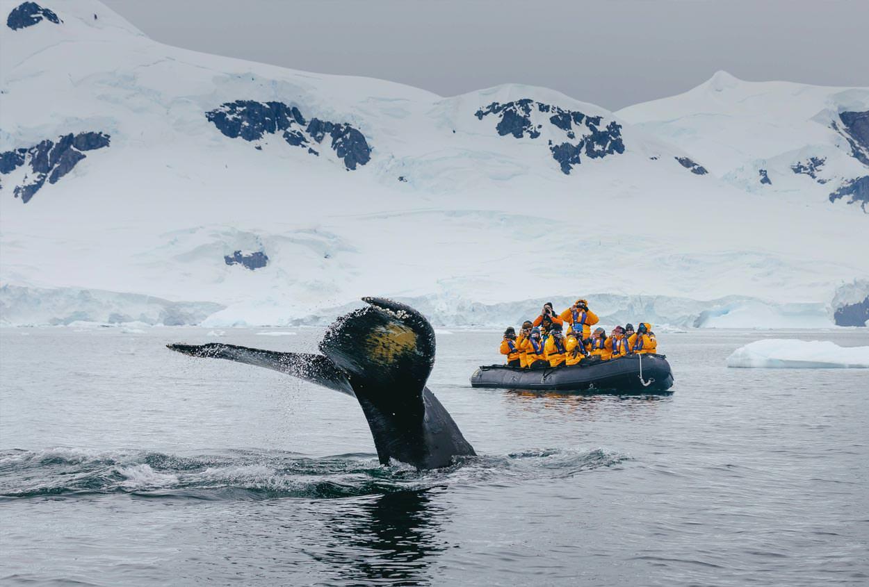 מפגש קרוב עם לווייתן גדול סנפיר - טיול שייט לאנטארקטיקה | צילום: Quark Expeditions