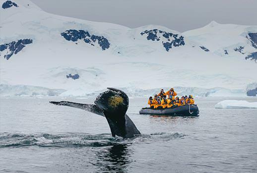 מפגש קרוב עם לווייתן גדול סנפיר בטיול לאנטארקטיקה | צילום: Quark Expeditions