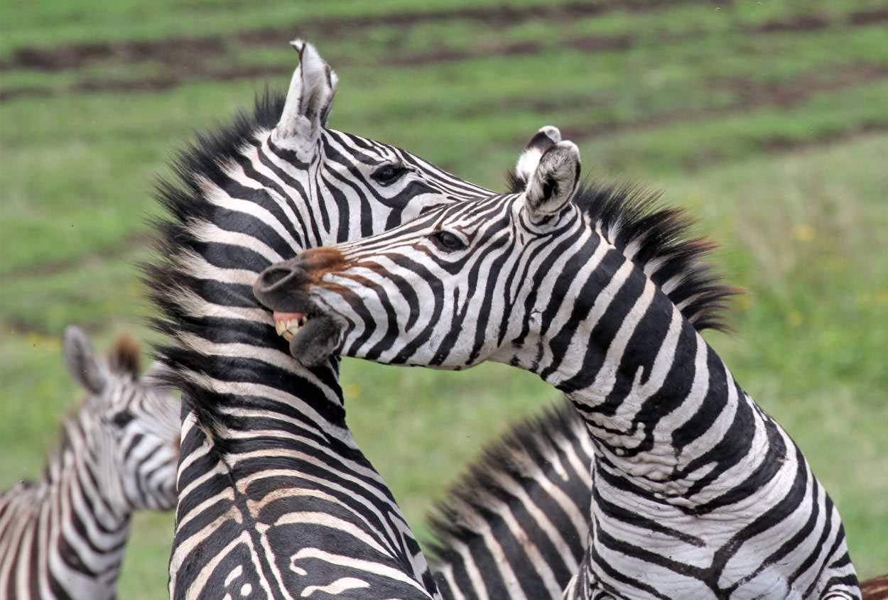 ספארי בטנזניה | צילום: גיא פינס