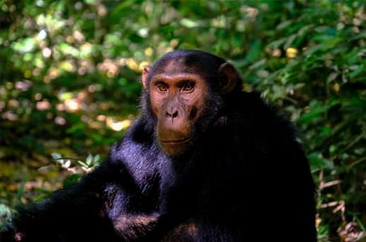 שימפנזה ביערות הגשם של ניונגווה, רואנדה