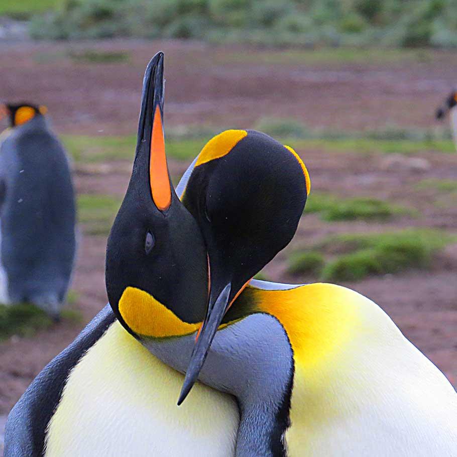 שייט מקיף לאנטארקטיקה - 21 יום - מסע צילום וטבע אל איי פוקלנד, ג׳ורג׳יה הדרומית ואנטארקטיקה